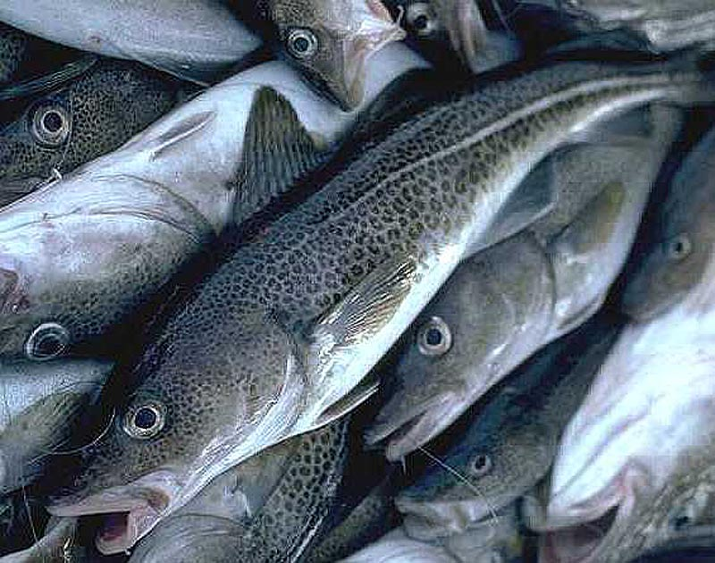 Gulf of Maine cod