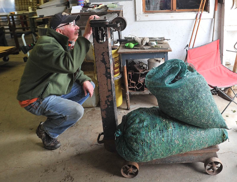 WEIGH-IN: Butch Wells wieghs two sacks of fresh fiddleheads at W.S. Wells & Son in Wilton on Thursday.