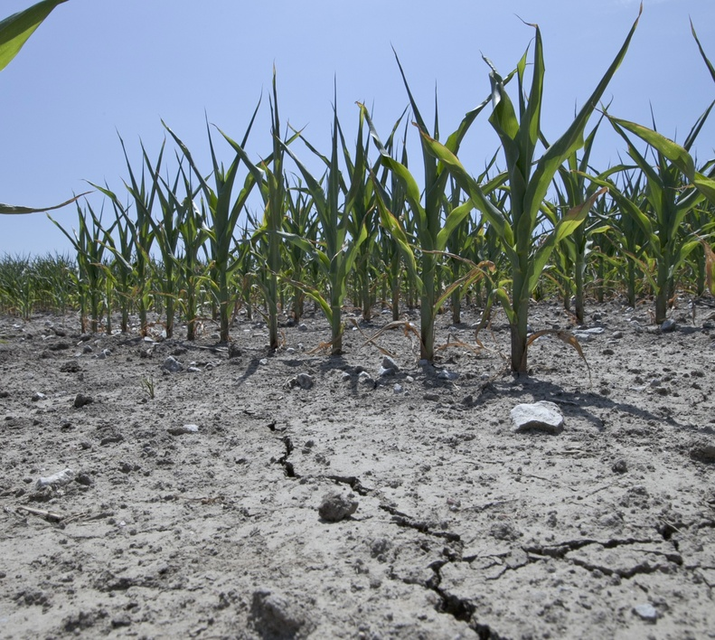 Stunted corn grows in dry, cracked soil in rural Springfield near Omaha, Neb., as a drought continues.