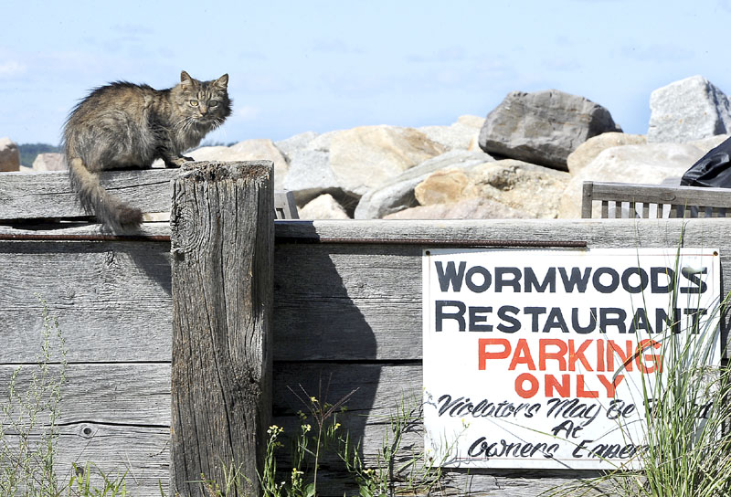 A cat perched on top of the wall on Wednesday in the parking lot alongside Wormwoods Restaurant at Camp Ellis in Saco.