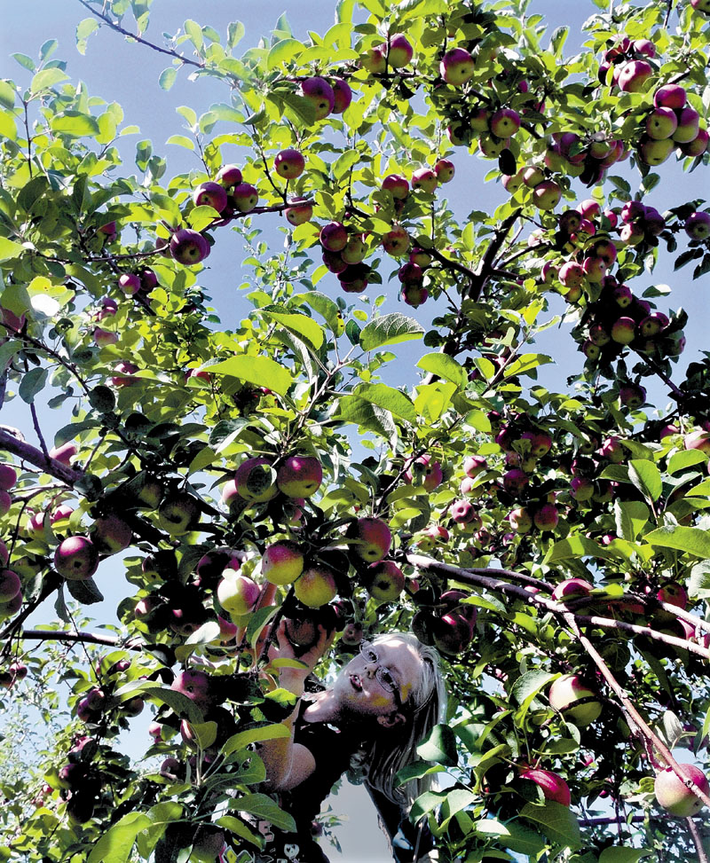 APPLE PICKIN: Though some states are expecting a smaller apple harvest than usual this season, the picking was good for Kay Lyn Belanger, pictured, and hundreds of others at the Apple Farm in Fairfield on Sunday.