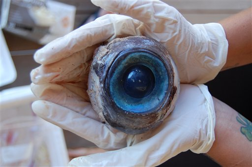 The eyeball found by a man walking the beach in Pompano Beach, Fla. No one knows what species the huge blue eyeball came from. The eyeball will be sent to the Florida Fish and Wildlife Research Institute in St. Petersburg.