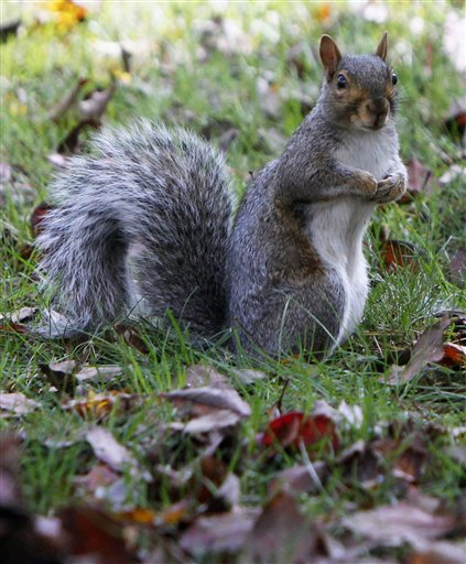 A gray squirrel forages last week in Montpelier, Vt. Biologists say a variety of natural forces have combined to produce an overabundance of squirrels throughout Vermont and some adjoining states, devastating at least some apple orchards. It's expected the population could crash as rapidly as it grew.