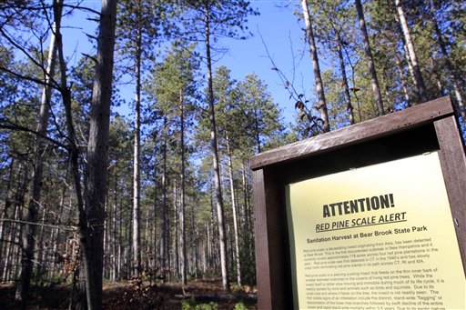 A stand of Red Pines that will be cut down at Bear Brook State Park in Allenstown, N.H.