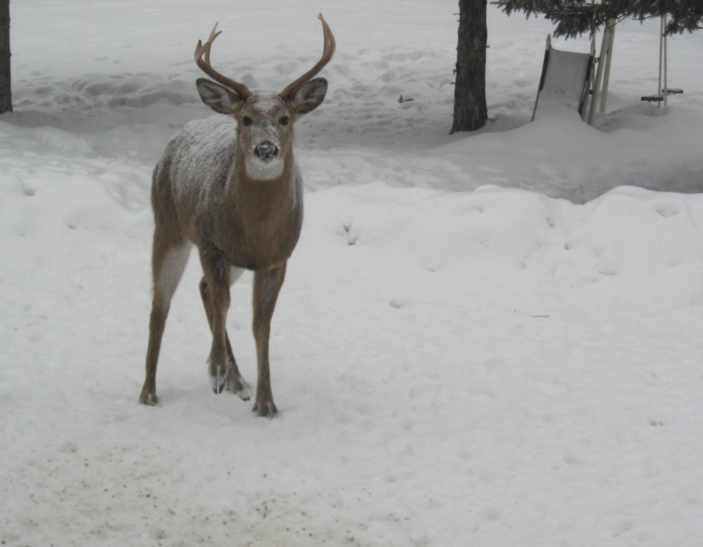 A buck visited Jackman at the start of the Thursday's storm.