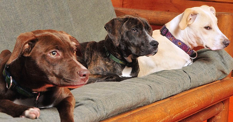 Littermates Meta, left, Hoot and Sierra hang out together on Wednesday at K9 Cabin Dog Day Care in Augusta.
