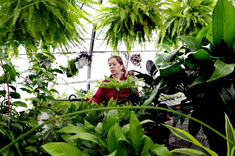 As snow falls outside, Cindy Coady-Bergeron waters plants inside Boynton's Greenhouse in Skowhegan on Wednesday.