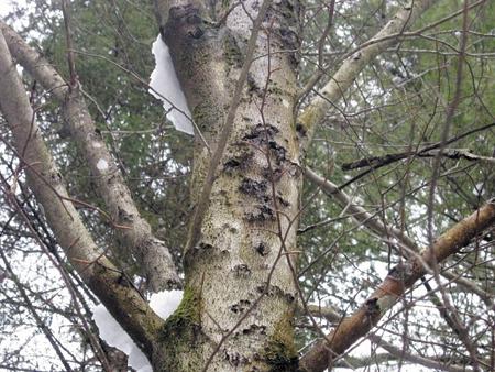 A beech tree in Troy.