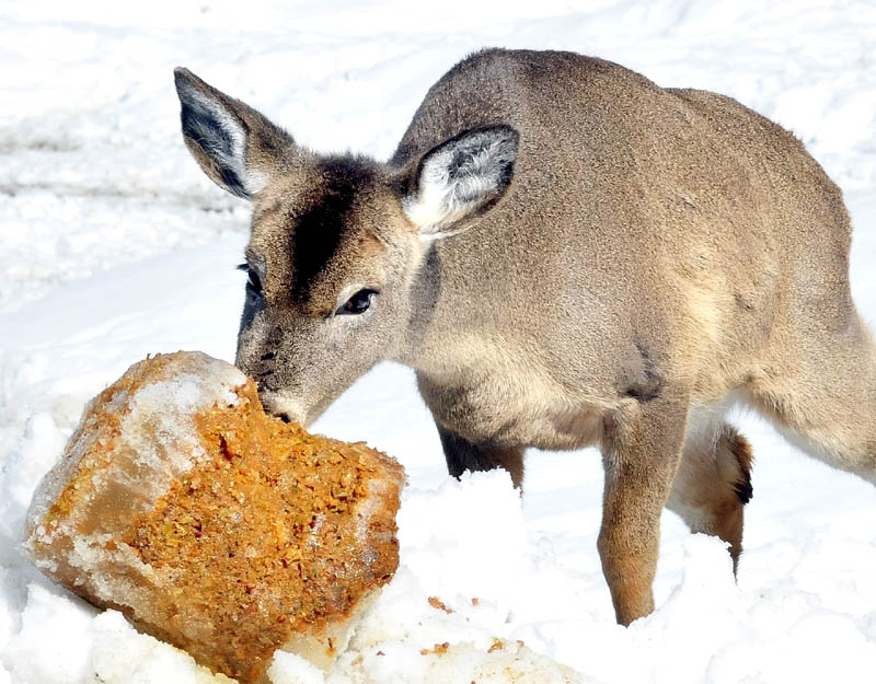 A deer nibbles frozen, ground- up apples, one of the treats set out by Basil Powers in Coplin Plantation.