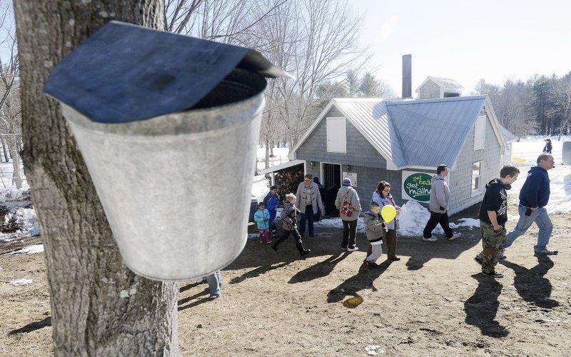Visitors make their way from the sap house as a maple bucket collects sap on a tree at Hilltop Boilers in Newfield on Sunday.