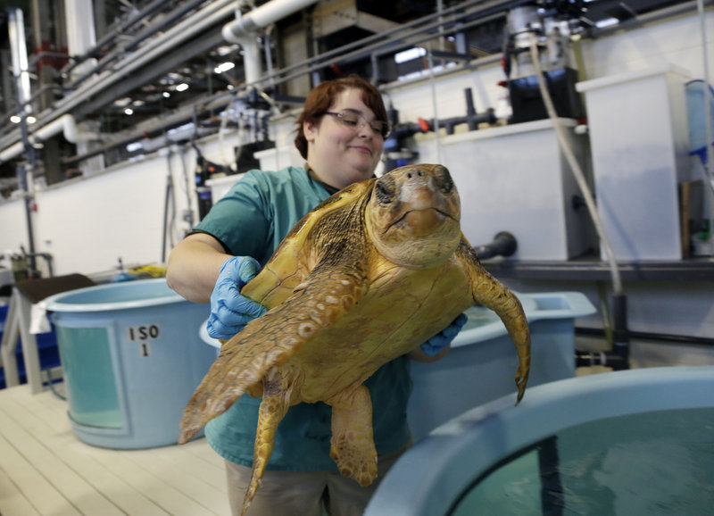 A loggerhead sea turtle is cared for at the University of New England's Marine Animal Rehabilitation Center, one of five that will be returned to warmer climates.