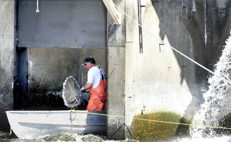 Alewife fisherman Jim Wotton scoops fish into his boat that have stopped and grouped at the turbine outlet of the Benton Falls Hydro dam recently.