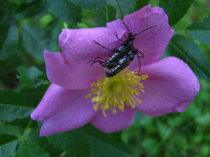 Two blister beetles atop a wild rose blossom.