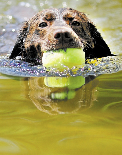 Lucy swims back to shore after she retrieved a tennis ball Thursday in the Hallowell Reservior. It has been a popular place for people and pets to keep cool in the recent run of hot weather.