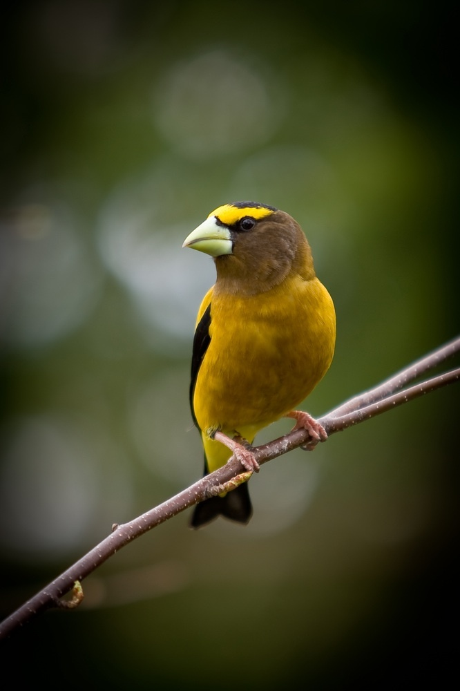 Habitat fragmentation is taking a toll on songbirds like the evening grosbeak in the forests of Canada and Maine, experts agree.