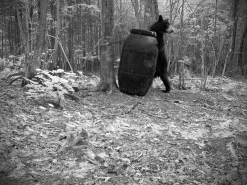 These three photographs of a black bear at a bait bucket were captured by a hunter's trail camera in 2008. Maine hunters and guides call the practice an efficient way to bag bears in a densely forested state.
