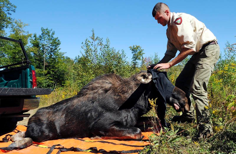 Inland Fisheries and Wildlife biologist Kendall Marden removes a shirt covering the eyes of a yearling bull moose Wednesday as it stirs after he tranquilized and helped relocate the animal in Augusta.