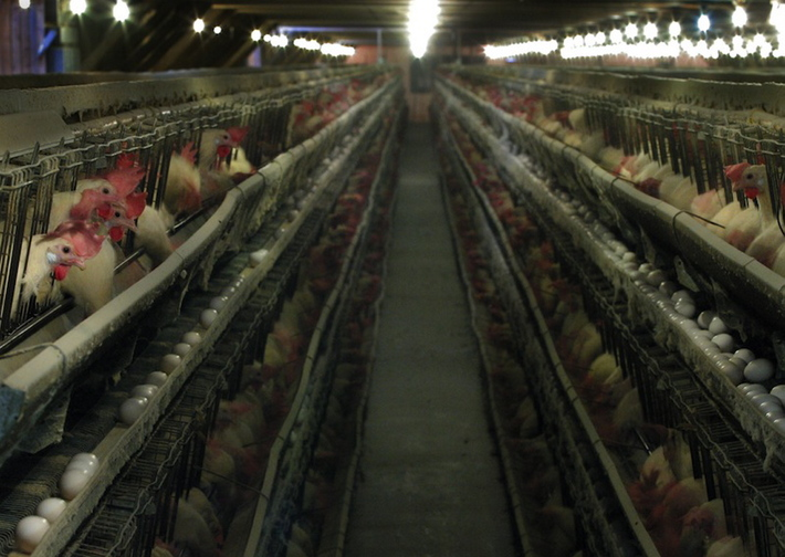 """Gregory Rec / 2003 Staff File Photo In this file photo, hens feed inside one of the plants at the former Decoster Egg Farms in Turner, Maine. A longtime employee of Austin """"Jack"""" DeCoster who alleged in a federal lawsuit that Mexican-American workers at DeCoster's egg farms were treated as """"virtual slaves"""" has reached a settlement with his former employer."""