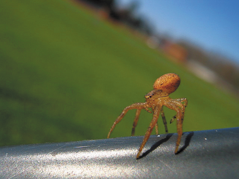 A juvenile crab spider (of the family Thomisidae) gets ready to take off, or balloon, into the wind by