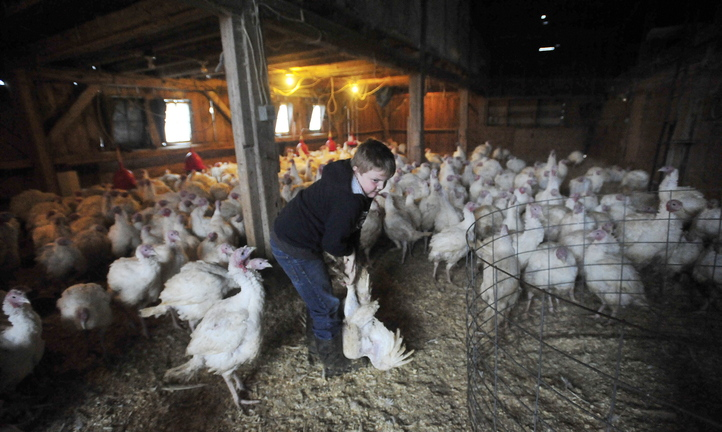 TURKEY TIME: Adam Greaney, 10, grabs one of the many turkeys roaming the barn at Greaney's Turkey Farm in Mercer on Friday.
