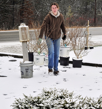 Genevieve Coombs, manager at the Roosevelt Trail Landscape and Garden Center in Windham, moves pots of small trees to a location that will protect them for the winter as the first snowfall hits.