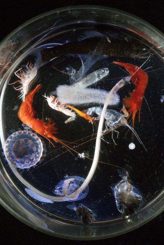 In this 2007 file photo released by the Woods Hole Oceanographic Institution in Massachusetts, a sample of zooplankton collected with a Tucker Trawl with a 10mm opening wherein one can find jellyfish, a lanternfish, a snipe eel, two orange shrimp and a pyrosome (which is bioluminescent). Zooplankton, the microscopic creatures that make up a critical link in the ocean food chain declined dramatically the first half of this year in the North Atlantic as ocean temperatures remained among the warmest on record, federal scientists say.