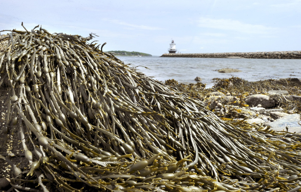 Rockweed, which covers rocks along Maine's coast, is processed for use in pharmaceuticals, nutritional supplements and other products.