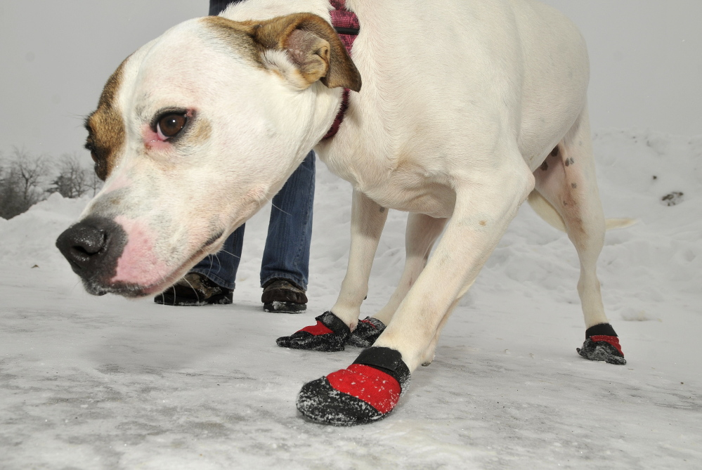WARM PAWS: Wanda, a three-year-old mutt, wears booties to help protect her paws while on a walk with Katrina Lavoie at the Humane Society Waterville Area on Thursday.