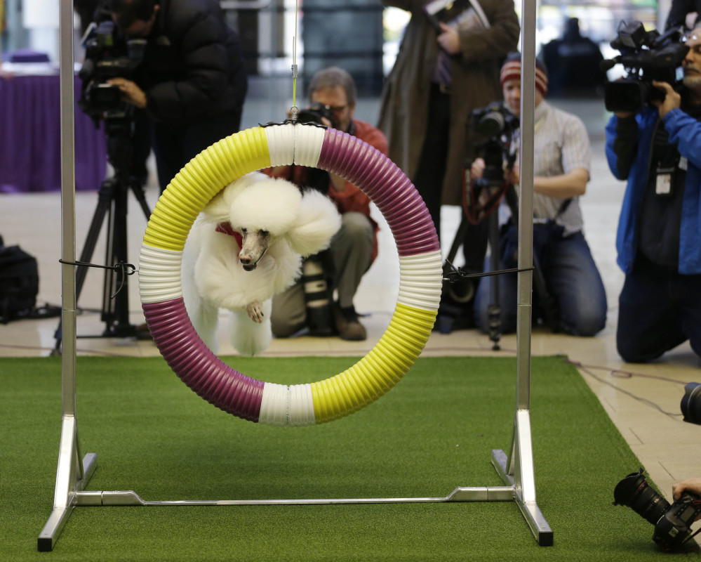 Callia, a standard poodle, demonstrates her mastery of an agility test during a news conference in New York on Wednesday. For the first time ever, the Westminster Dog Show will include an agility competition, open to mixed-breeds as well as purebred dogs.