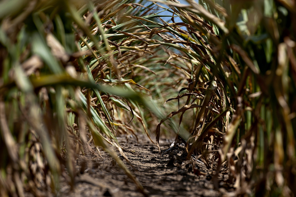 The sun shines on the dried leaves of corn plants suffering from a lack of moisture in Idaville, Ind., in 2012. Dry weather in the U.S. will cut beef output from the world's biggest producer to the lowest level since 1994, following 2013's bumper corn crop, which pushed America's inventory up 30 percent.