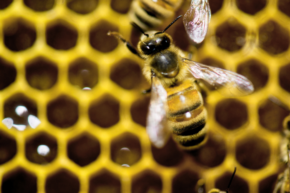 A hive of honeybees is on display at the Vermont Beekeeping Supply booth at the 82nd annual Vermont Farm Show at the Champlain Valley Expo in Essex Jct., Vt., on Tuesday. A new parasitic threat faces bees in Vermont.