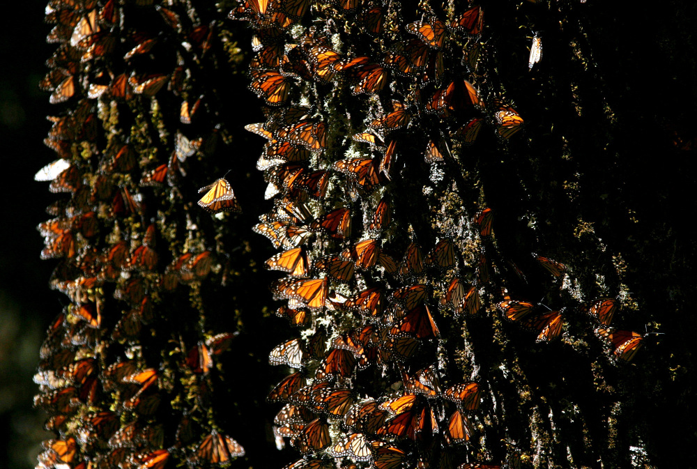 Monarch butterflies gather on a tree at the El Rosario Butterfly Sanctuary near Angangueo, Mexico. Extreme weather – extreme cold snaps, unusually heavy rains or droughts in Canada, the United States and Mexico – have apparently contributed to the butterfly's decline.