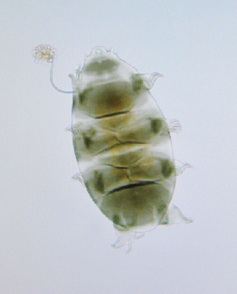 TARDIGRADES: This tardigrade, seen Thursday at Unity College, is equipped with an armor shell and green tint from its herbivore diet.