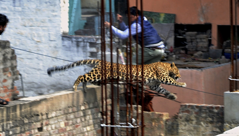 A man moves out of the way of a leopard in the northern Indian city of Meerut, India, on Sunday. At one point, forestry officials closed in on the leopard in a warehouse, but it leaped through a concrete grill, breaking it and escaping.