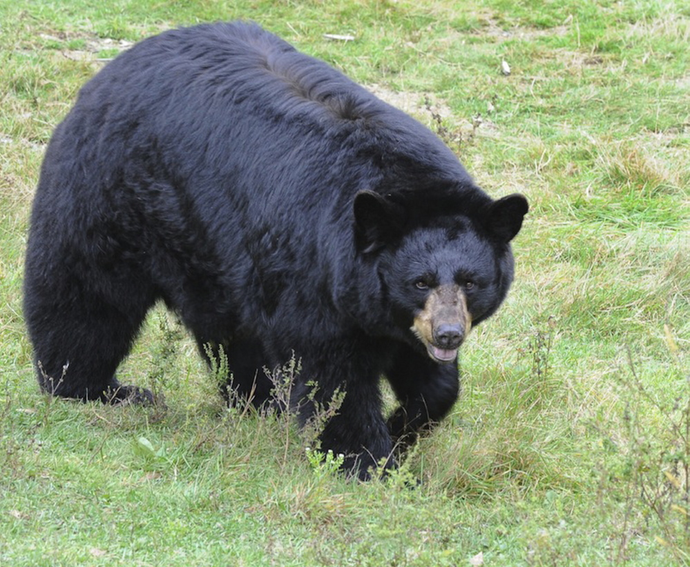 A proposal would prohibit the use of bait, dogs or traps to hunt bears, but opponents say such methods provide essential tools to control the population.