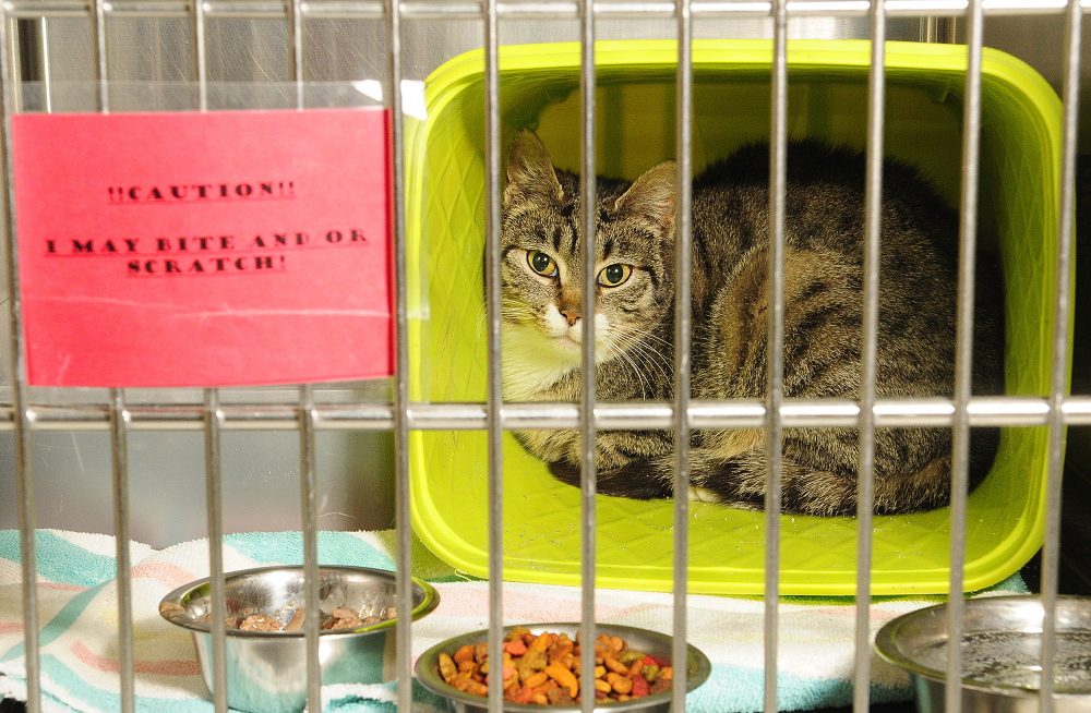 Ping, one of the cats in the Barn Buddies program, sits in a cage on Tuesday March 4, 2014 at Kennebec Valley Humane Society in Augusta.
