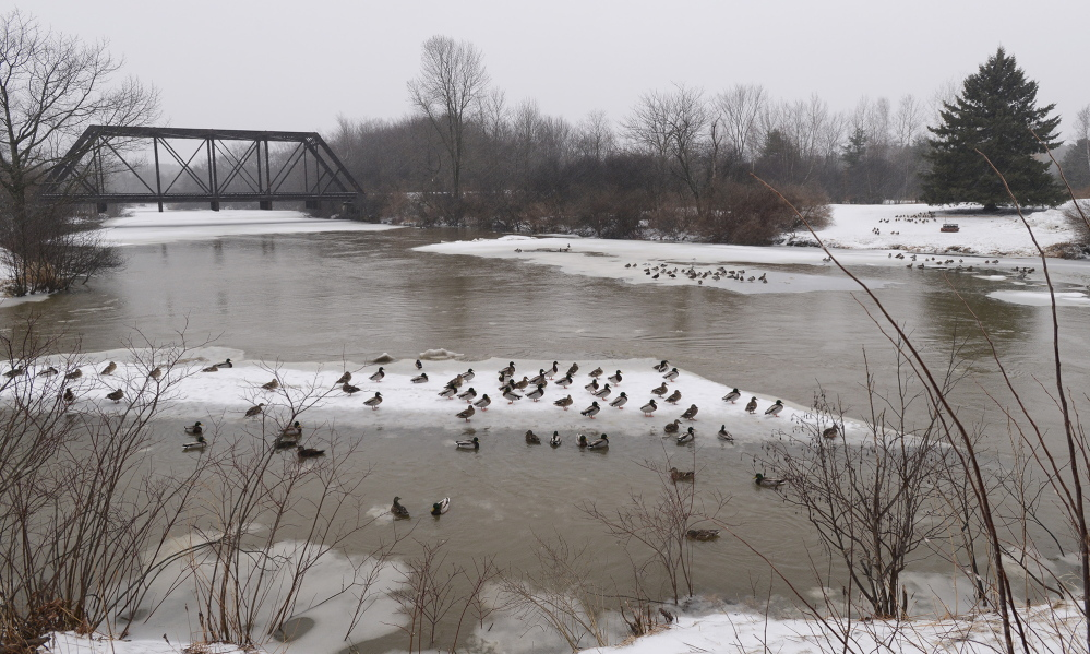 Recent rains have swollen many Maine rivers and streams, such as the Royal River in Yarmouth, where mallards find a resting spot on ice floes Monday.