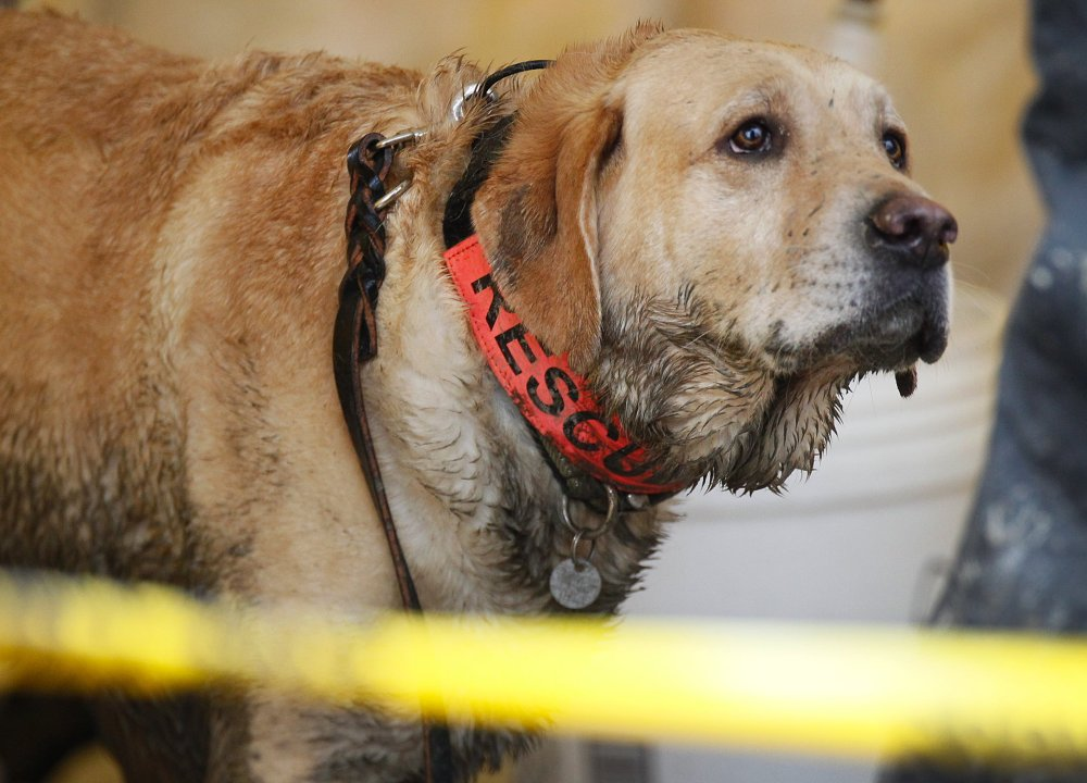 Rescue dog Nexus, muddy from working at the site, waits to be decontaminated via hose at the west side of the mudslide on Highway 530 near mile marker 37 in Arlington, Wash., on Sunday.