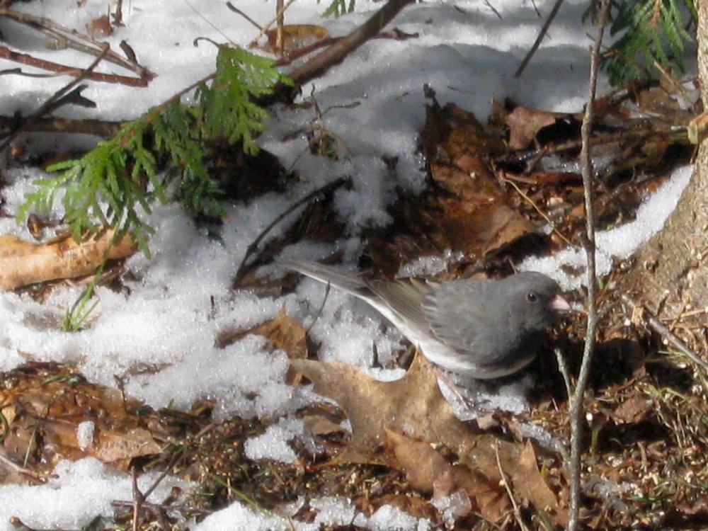 SNOWBIRD: A dark-eyed junco patrols the ground in Troy.