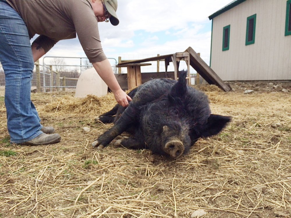 HAM IT UP: Unity College Farm Manager Megan Anderson scratches the belly of American guinea hog Lurch on Friday. Lurch is one of two guinea hogs that were recently purchased by the college, and one of only 1,267 American guinea hogs in existence.