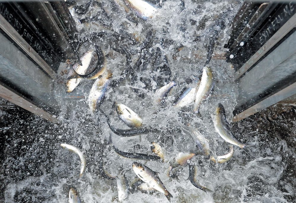Alewives pour out of the fish elevator at the top of the Benton Falls Dam in 2013.