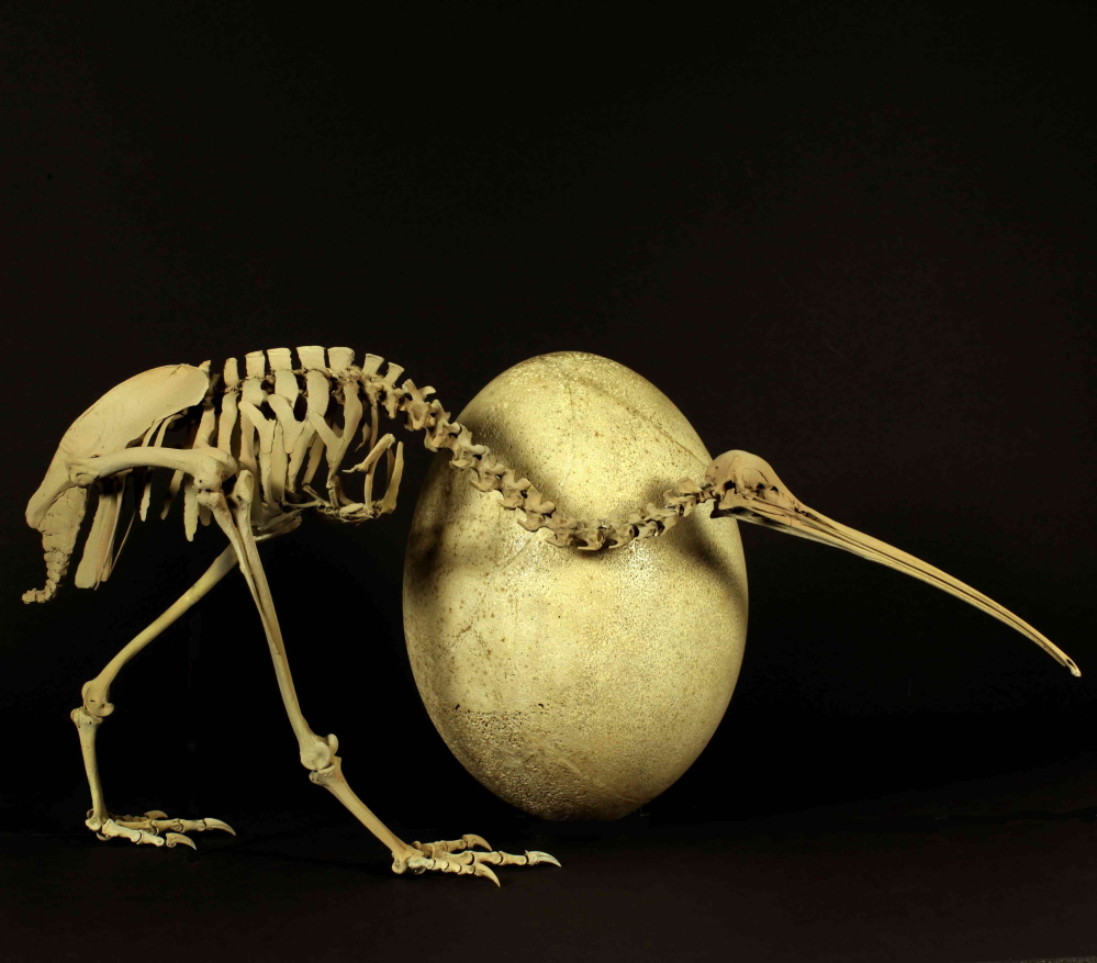 A skeleton of the adult brown kiwi is displayed next to an egg of a huge elephant bird – the kiwi's evolutionary sibling, though you'd never know it to look at them.