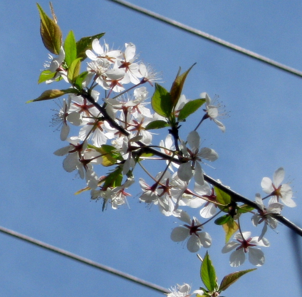 Blooming: Shadbush blossoms in Troy in May.