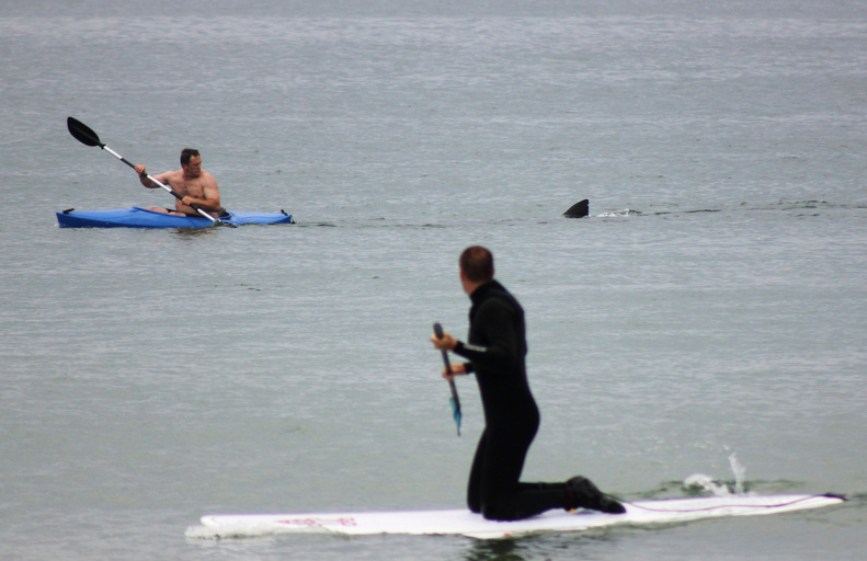 A shark approaches a kayaker at Nauset Beach in Orleans, Mass., on Cape Cod on July 7, 2012. Both men got safely to shore. Sharks are attracted to the waters off Cape Cod to feed on the abundance of seals, a favorite food of sharks.