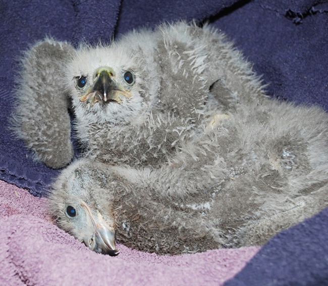 This photo provided by Avian Haven shows the two eaglets rescued from a nest in Bangor. The one lying down has just eaten and is dozing with a full crop – the pouchlike part of a bird's esophagus, where food is stored or partially digested before passing on to the gizzard.