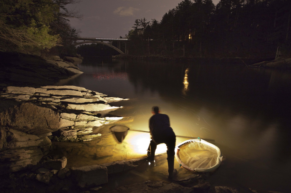 A fisherman uses a lantern while dip netting fort elvers on a river in southern Maine. The catch is down 40 percent this year.