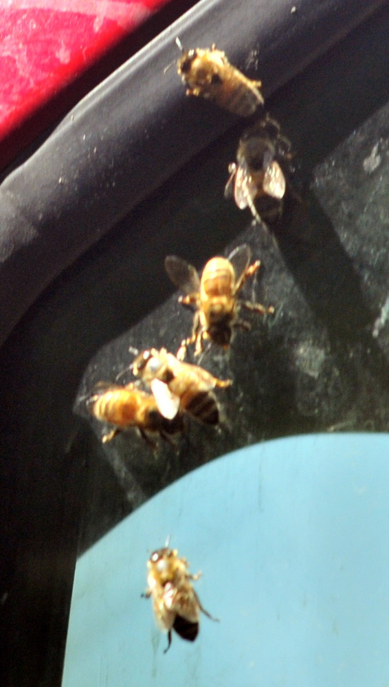 SWARM: Bees crawl on a truck window on Wednesday near the Wayne fire station.