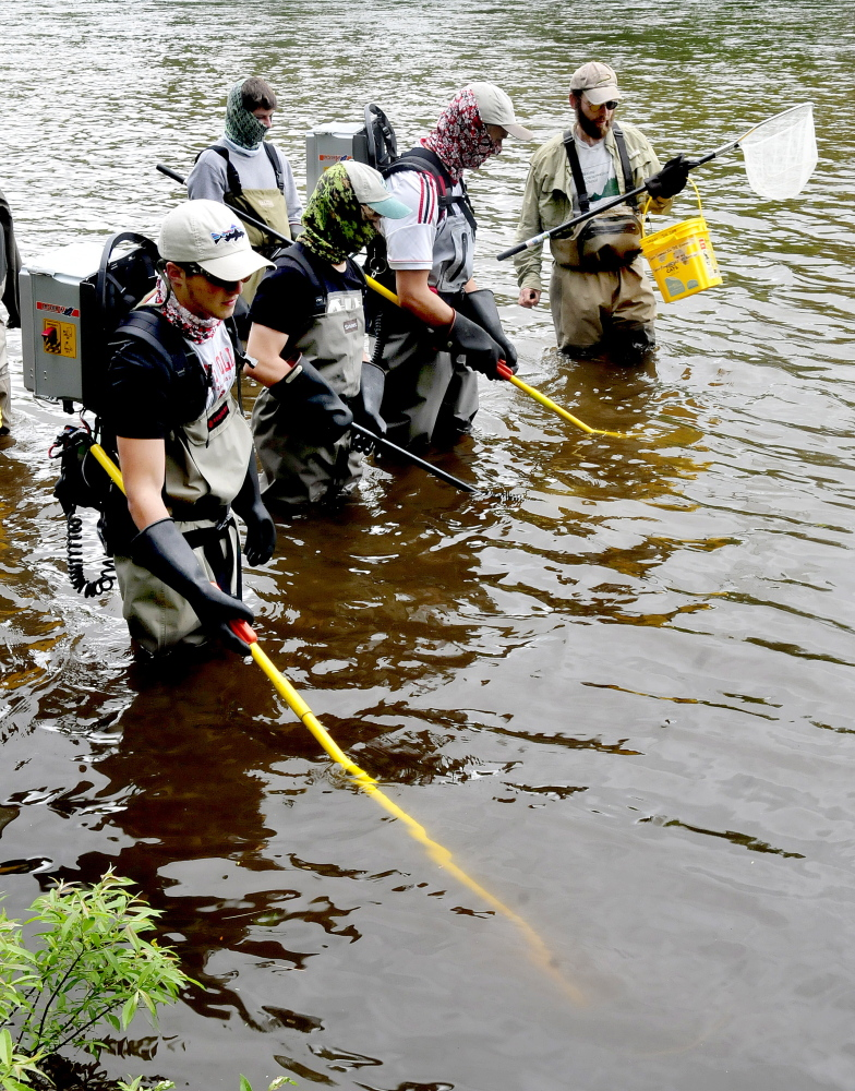 Participants in the Maine Trout Unlimited Trout Camp try electro- shocking fish to study in the Kennebec River in Solon on Thursday. At right University of Maine Professor Steve Coghlan monitors as Johnny Miller, left, and Silas Phillips wave charged wands under water. Coghlan said the shocking subdues the fish and is not fatal.