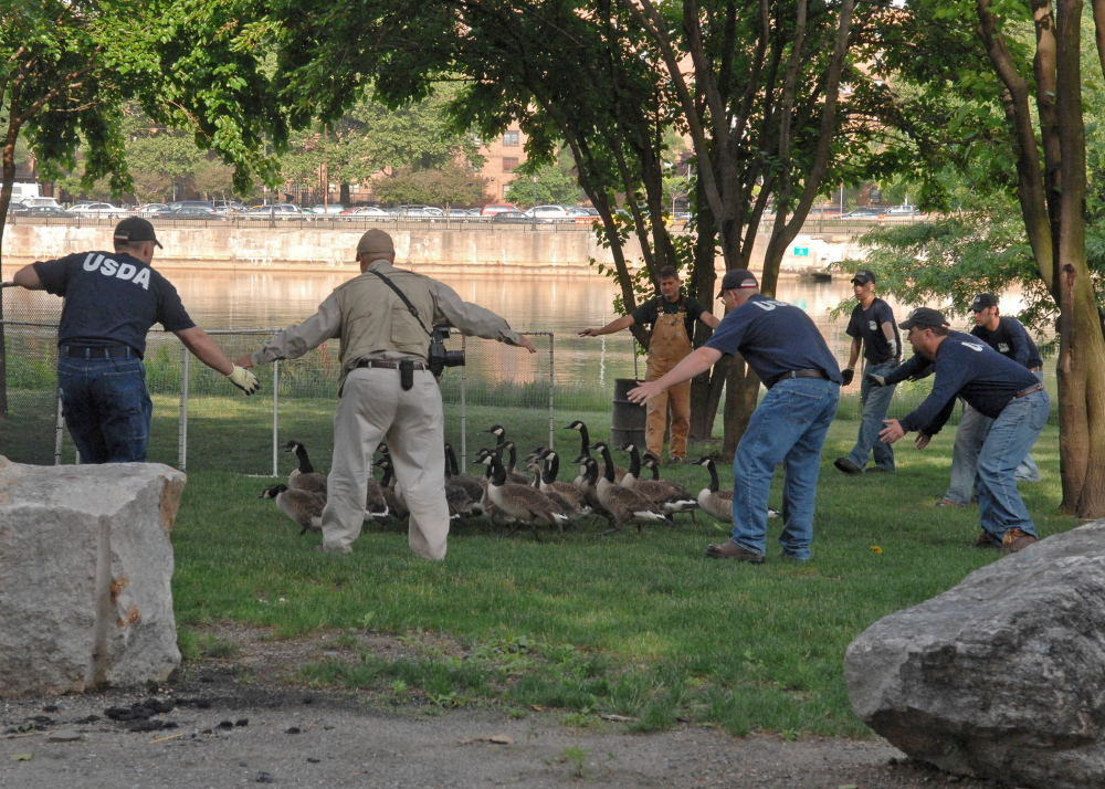 Techniques used to move geese from a public waterway are demonstrated in this United States Department of Agriculture file photo. Similar methods were used in Oakland to move Canada geese away from the town boat launch and beach.