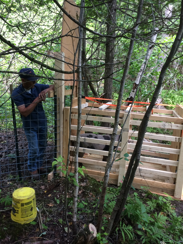 Pat Faucher, Oakland animal control officer, and the cage he and a federal wildlife agent built to hold a domesticated pig recaptured Tuesday after nearly eight weeks of freedom.